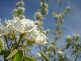 apple_blossom_by_lifesagame-d4ky5f8