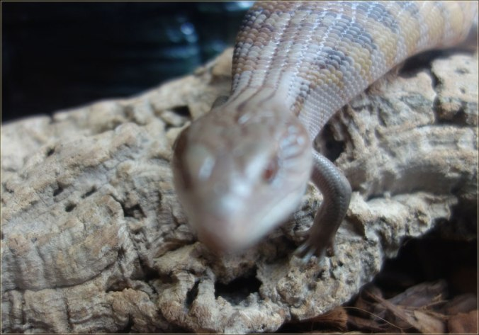 Norbert-blue-tongue-skink-3